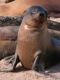 Baby seal. At the Galapagos islands basking in the sunlight Royalty Free Stock Photos