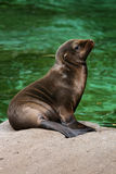 Baby seal 4 Royalty Free Stock Image
