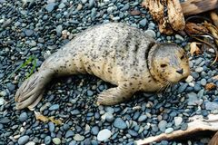 Baby seal Royalty Free Stock Photo