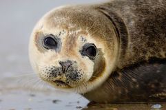 Baby Seal. From Helgoland Germany royalty free stock photos
