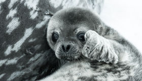 Baby seal. In Antarctica. close up portrait Stock Image