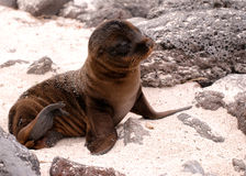 Baby seal basking in sun on Galapagos islands Stock Image