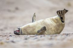 baby seal bent of laughter Royalty Free Stock Photography