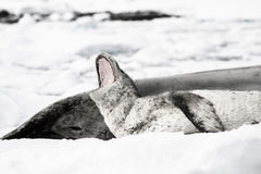 Baby seal. Close to his mom. Antarctica Stock Images