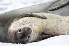 Baby seal. Close to his mom. Antarctica Royalty Free Stock Photo