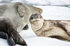 Baby seal. Close to his mom. Antarctica Stock Image