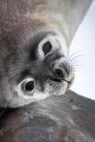 Baby seal close to mom Stock Photo