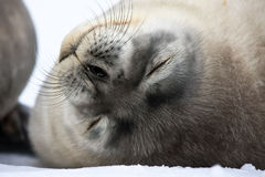 Baby seal close to mom. Antarctica Stock Images