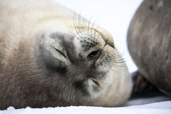 Baby seal close to mom. Antarctica Royalty Free Stock Image