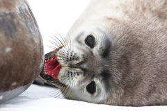 Baby seal. Close to mom. Antarctica Stock Images
