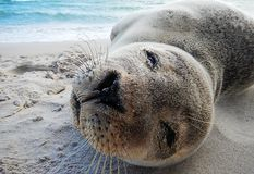 Baby seal close up Royalty Free Stock Photography