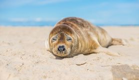 Baby seal close up. On the beach in Skagen, Denmark 2017 Royalty Free Stock Photos