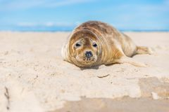 Baby seal close up. On the beach in Skagen, Denmark 2017 Stock Photo