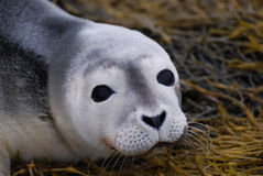 Baby Seal Face. Adorable face of a baby seal up close and personal Stock Photos