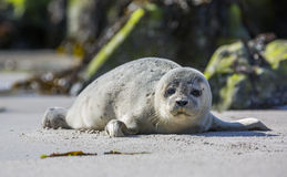 Baby seal on the german island of Helgoland Stock Photography