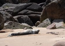 Baby Seal Getting Some Sun. A baby seal getting some sun in Acadia National Park Stock Image