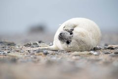 Baby seal Royalty Free Stock Photography