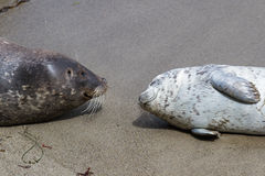 Baby seal and his mother Royalty Free Stock Images