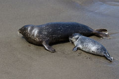 Baby seal and his mother Stock Images