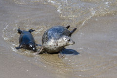 Baby seal and his mother Stock Image