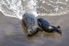 Baby seal and his mother Royalty Free Stock Photos