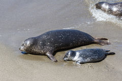 Baby seal and his mother Stock Photos