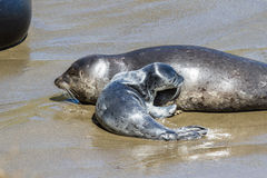 Baby seal and its mother Stock Photo
