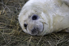 Baby Seal looking in the camera Royalty Free Stock Photos