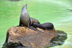 Baby seal and mother Royalty Free Stock Photo