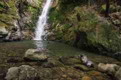 Baby seal in natural forest pool with waterfall Royalty Free Stock Images