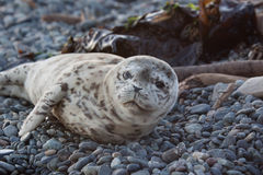 Baby Seal. On the ocean shore Royalty Free Stock Images
