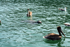 Baby seal with Pelicans Stock Photo