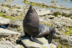 Baby seal playing on sea rock Royalty Free Stock Images