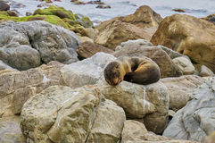 Baby Seal Pup. Sleeping on rocks at Ohau waterfall, South Island, New Zealand Stock Photos