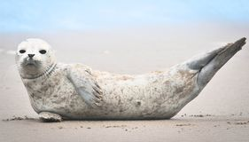 Baby seal relaxing at beach Royalty Free Stock Photos