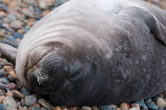 Baby Seal Sleeping Royalty Free Stock Images