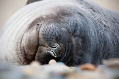 Baby Seal Sleeping Stock Photo