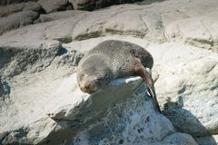Baby seal sleeping on rock. Wildlife animal Stock Photos
