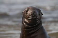 Baby Seal Stock Photos