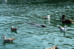 Baby seal surrounded by pelicans Royalty Free Stock Photos