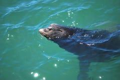 Baby seal. Royalty Free Stock Photo