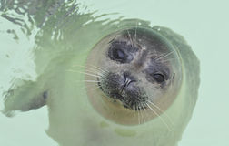 Baby seal in water Royalty Free Stock Photos