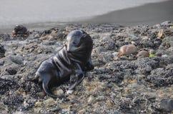 Baby Seal in Wharariki Beach. Baby seal resting on the rocks in Wharariki Beach Stock Photos