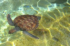 Baby seaturtle Stock Image