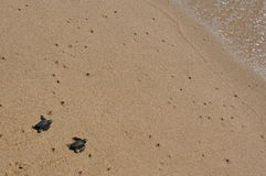 Baby seaturtles approaching the ocean Royalty Free Stock Photos