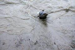 Baby-Seeelefant, der in der Brandung spielt Lizenzfreie Stockfotos
