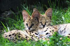 Free Baby Serval Cats In Grass Royalty Free Stock Images - 148640289