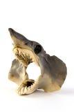 Baby Shark. Real head of a juvenile great white shark Royalty Free Stock Photo