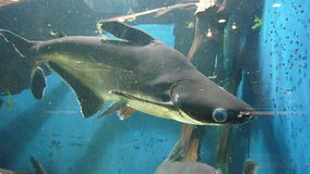 Baby shark in aquarium stock video