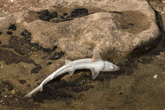 Baby shark in rock pool Royalty Free Stock Photos